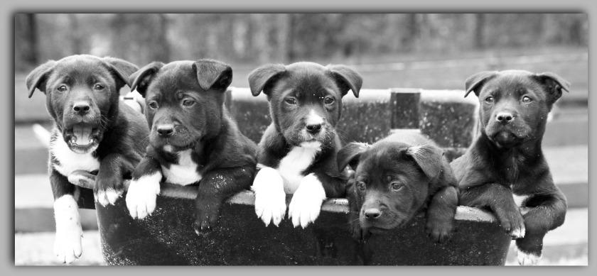 2 Black Pups 4400x2100 jpeg